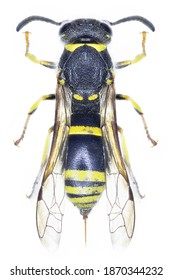 High resolution macro photo of an entomological specimen of the insect species Ancistrocerus trifasciatus