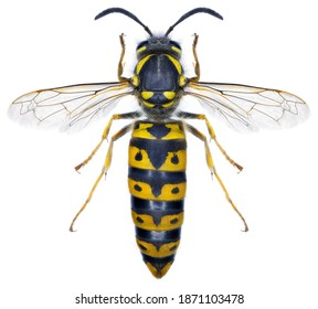 High resolution macro photo of an entomological specimen of the insect species Vespula germanica, queen