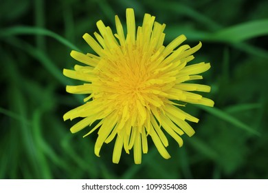 High resolution macro photograph of bright yellow dandelion, with soft focus green grass in background.