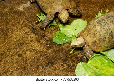 High resolution photo of elongated tortoise (Indotestudo elongata) when eating kale vegetable for their delicious breakfast in peaceful morning.