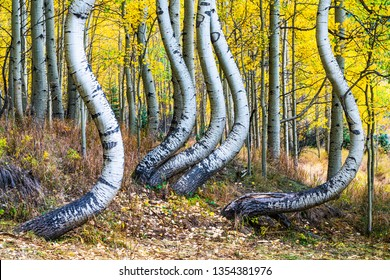 High in the San Juan Mountains in Colorado is this grove of aspen trees, all curved in parallel formation.  In autumn with the yellow foliage behind, they were very dramatic looking.