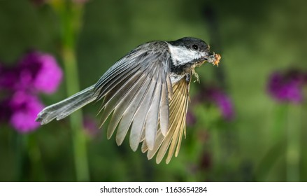 The is a high speed shot of a chickadee flying in the garden.