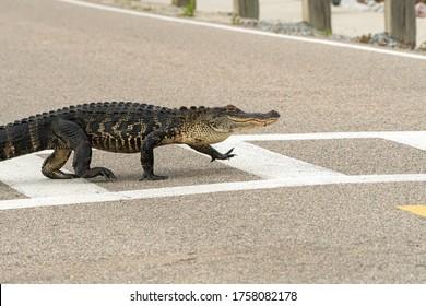 A high stepping gator uses a crosswalk.