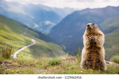 High Tauern, Austria,  marmot closeup  with the alpine road to Grossglockner in the background