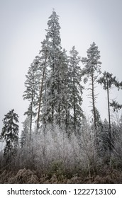 high and thin firs all in hoarfrost