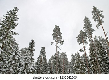 high and thin forest pines in winter