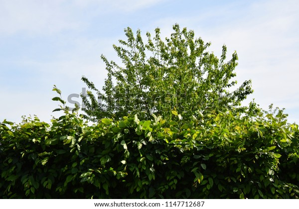 High top of a tree and dense leaves of a hedge - Green garden