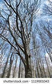 High tree of beech without leafs under blue cloudy sky