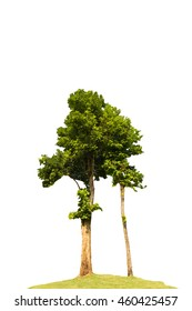 High tree isolated on white background and clipping path