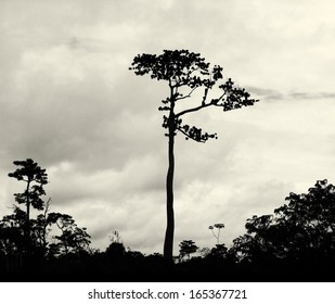 High tropical tree in Amazon Jungle