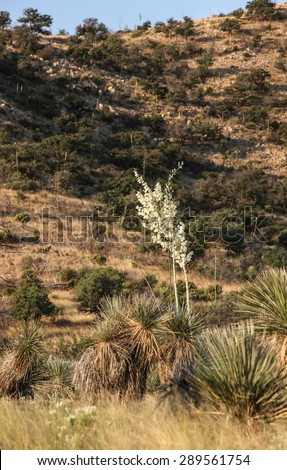 High White Flowering Stalk Desert Vegetation Creamy White Stock