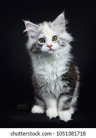 High white tortie Maine Coon girl kitten with attitude sitting up looking very curious in lens isolated on black background