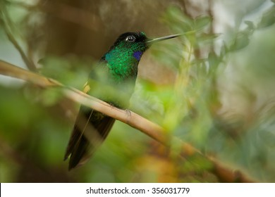 High-altitude dark, glittering green male hummingbird with blue throat and buff-colored patch on wings.Coeligena lutetiae, Buff-winged Starfrontlet , perched on twig. Blurred green forest background.