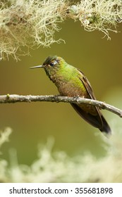 High-altitude rare green hummingbird with long green and pink stripe on the throat Bronze-tailed Thornbill Chalcostigma heteropogon,perched on mossy twig.Distant blurred green background,mossy framing