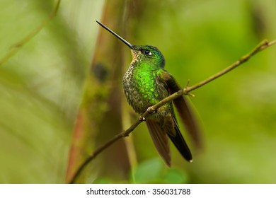 High-altitude,glittering green female hummingbird with blue throat and buff-colored patch on wings. Coeligena lutetiae, Buff-winged Starfrontlet , perched on twig. Blurred green forest background.