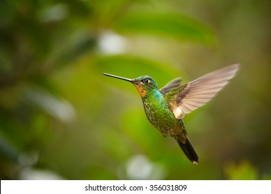 High-altitude,glittering green female hummingbird with blue throat and buff-colored patch on wings.Coeligena lutetiae, Buff-winged Starfrontlet , hovering in the air. Blurred green forest background.