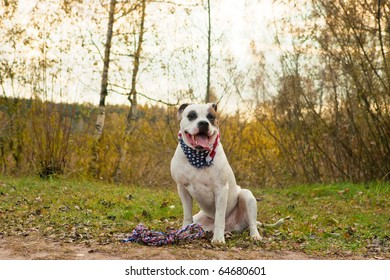 highbred big white bulldog with neckpiece of american flag sitting near forest and having colorful rope underneath with mouth open