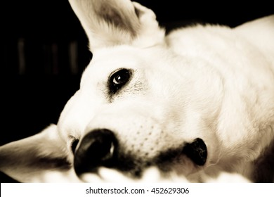 High-contrast close up of a Canadian white shepherd lying down, just the head and some neck visible as he stares just over the camera view point.