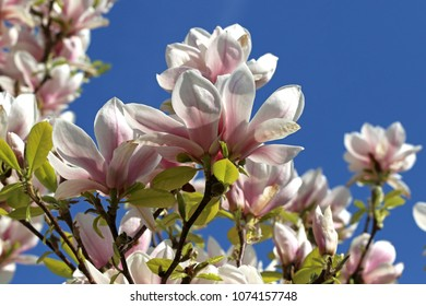 High-contrast photo with white and blue of blooming magnolia flowers