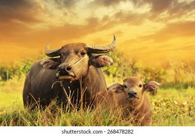 High-dynamic-range imaging,Buffalo on the grass sunset background