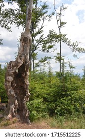 The highest peak of the Little Beskids - Czupel. Old tree split by lightning.