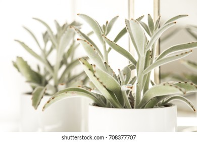 High-key photograph of a succulent plant (panda plant, kalenchoe) in a white ceramic pot with reflections in an antique folding mirror.