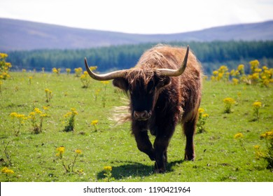 Highland cattle - ancient scottish  cows breed, grazing in Scotland Highlands, Craingorms area on a cloudy summer day.