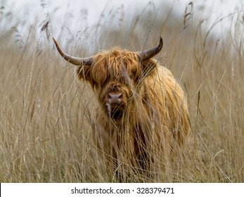 Highland cattle calf in a field of Reed in the Lauwersmeer National Park, Netherlands. These are the largest herbivores in the local ecosystem.
