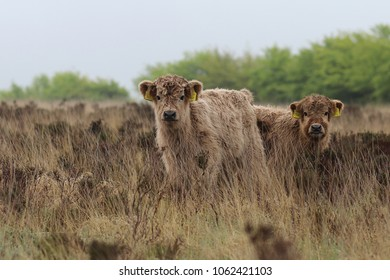 Highland cattle calves in the moorland grass on Exmoor.