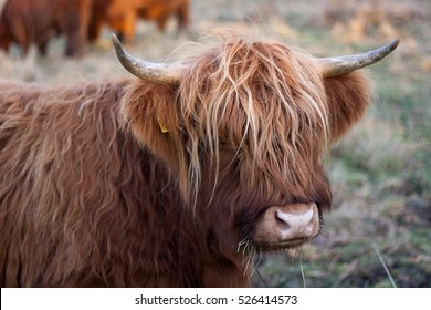 Highland cattle close up shaggy and beautiful