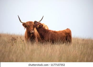 Highland Cattle cow and calf bonding in moorland taken with a shallow depth of field.
