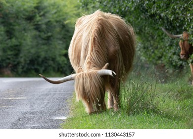 Highland Cattle cow grazing at the side of a narrow road with another cows head partially visible in the background.