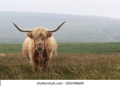 Highland cattle cow on Exmoor looking majestic.