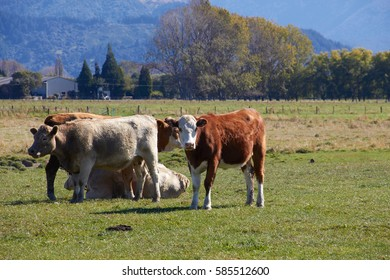 Highland cattle at the farm with the factory and mountain as background