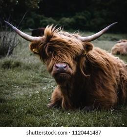 Highland cattle in field