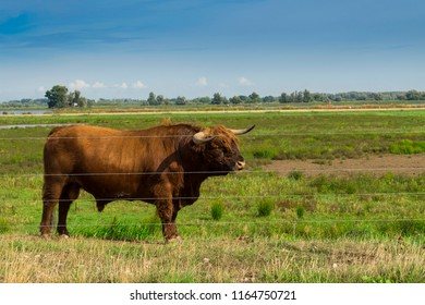 Highland cattle with flies on his nose, in national park Biesbosch, The Netherlands