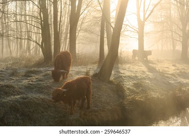 Highland cattle in the forest during a foggy sunrise in spring.