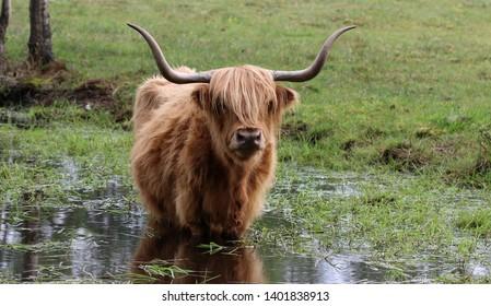 Highland cattle - Heilan coo