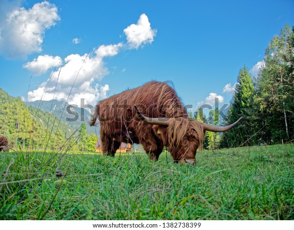 Highland cattle (known as Hairy coo or Bò Ghàidhealach in Scottish Gaelic. Also known as Heilan coo) are a Scottish cattle breed.  Their meat is lower in cholesterol than other kind of beef.