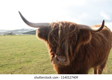 Highland cattle with large hown