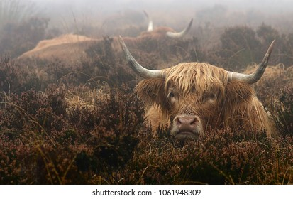Highland cattle lazing on the moor on a misty morning on Exmoor, Somerset.