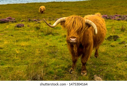 Highland Cattle With Long Horns In Scenic Landscape With Lake In Scotland