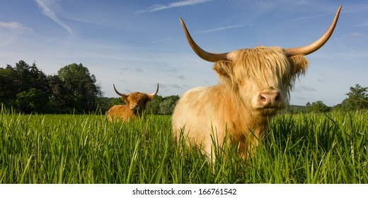 Highland Cattle in meadow