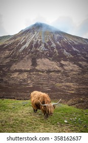 Highland cattle at the mountain of Glamaig - Isle of Skye, Scotland, UK