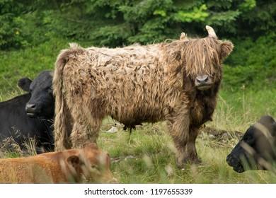 Highland cattle in the natu. Bohemian Forest. Czech Republic.