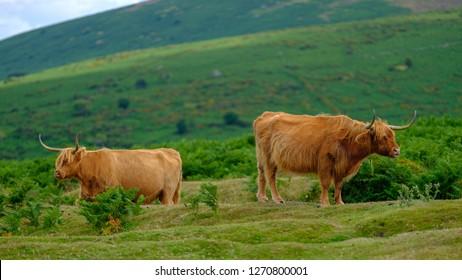 Highland Cattle on Dartmoor roam free and wide, Devon, UK