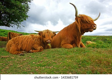 Highland cattle on Dartmoor in summer resting, chewing the cud and looking at the camera, Dartmoor National Park, Devon, UK