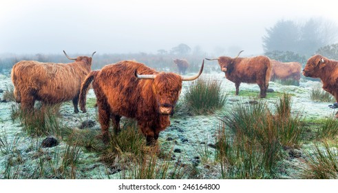 Highland cattle on a frosty, foggy morning on Bodmin Moor in Cornwall