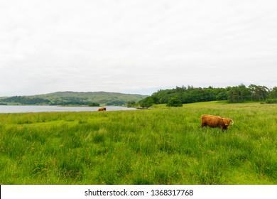 Highland Cattle on grass field in Scotland