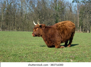 Highland Cattle on a meadow, blue cloudless sky